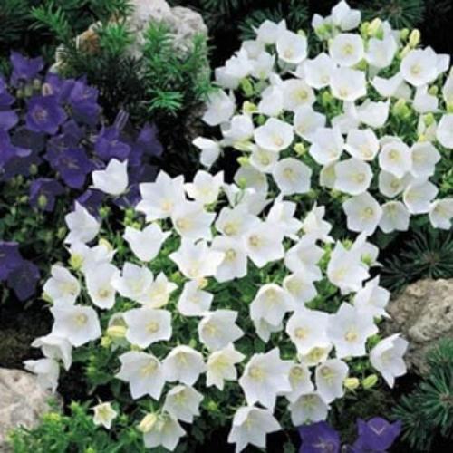 Campanula carpatica flower seed white bellflower seeds campanula carpatica white mightylinksfo Gallery
