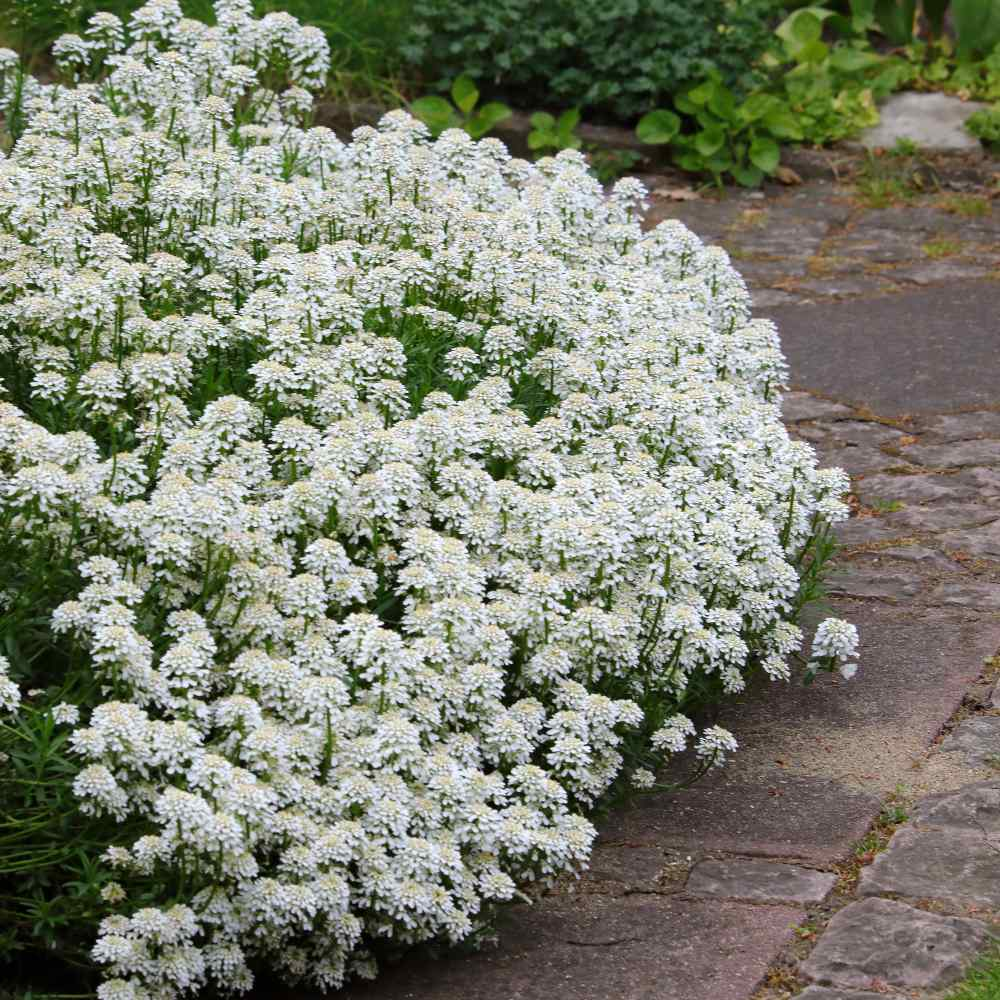 Candytuft Groundcover Seed