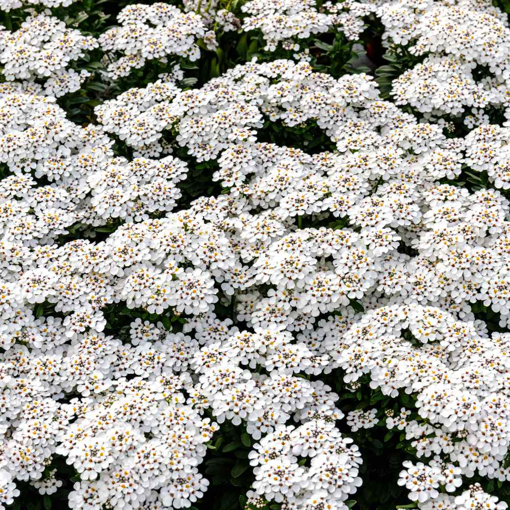 Candytuft Ground Cover Plants