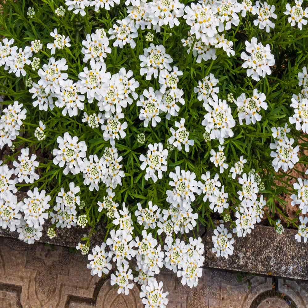 Iberis Candytuft Flower Bed