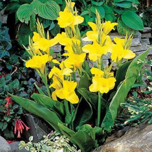 Canna Yellow X Generalis Growing Cannas From Seeds Is Extremely Rewarding And Brings A Striking Perennial To The Landscape That Gives Full