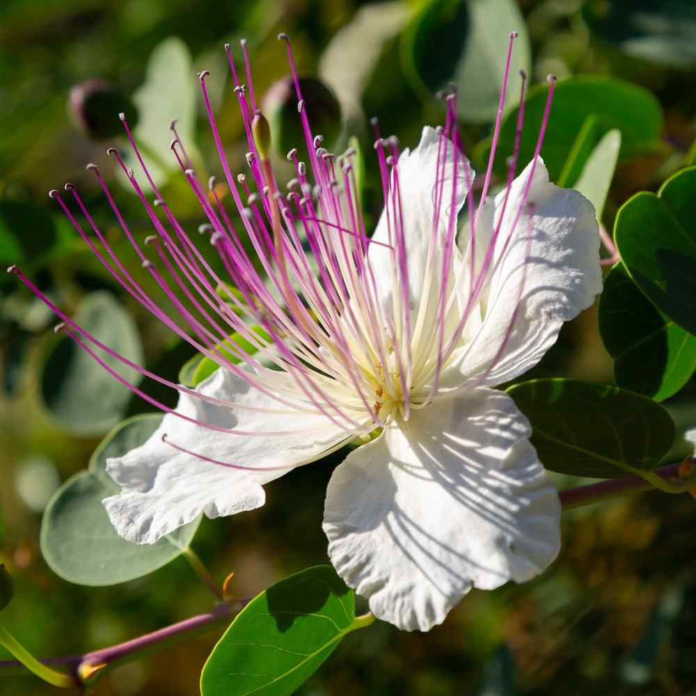 Caper Bush Flower Seeds