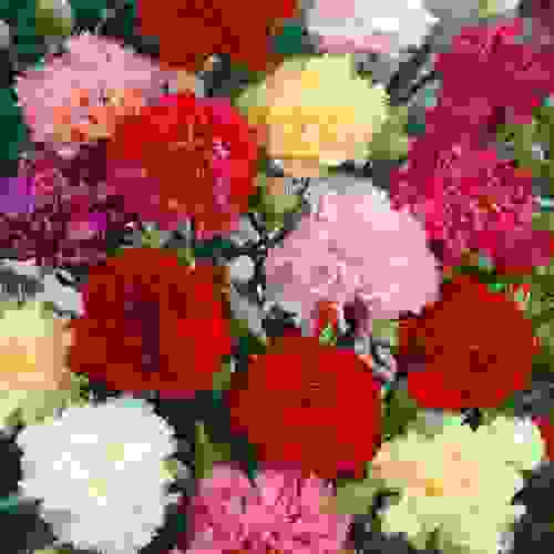 Carnation Seeds Dianthus Caryophyllus Chabaud Mix Flower Seeds