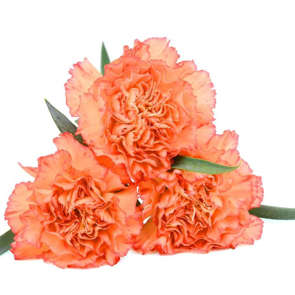 Carnation Seeds Dianthus Caryophyllus Chabaud Orange Flower Seed