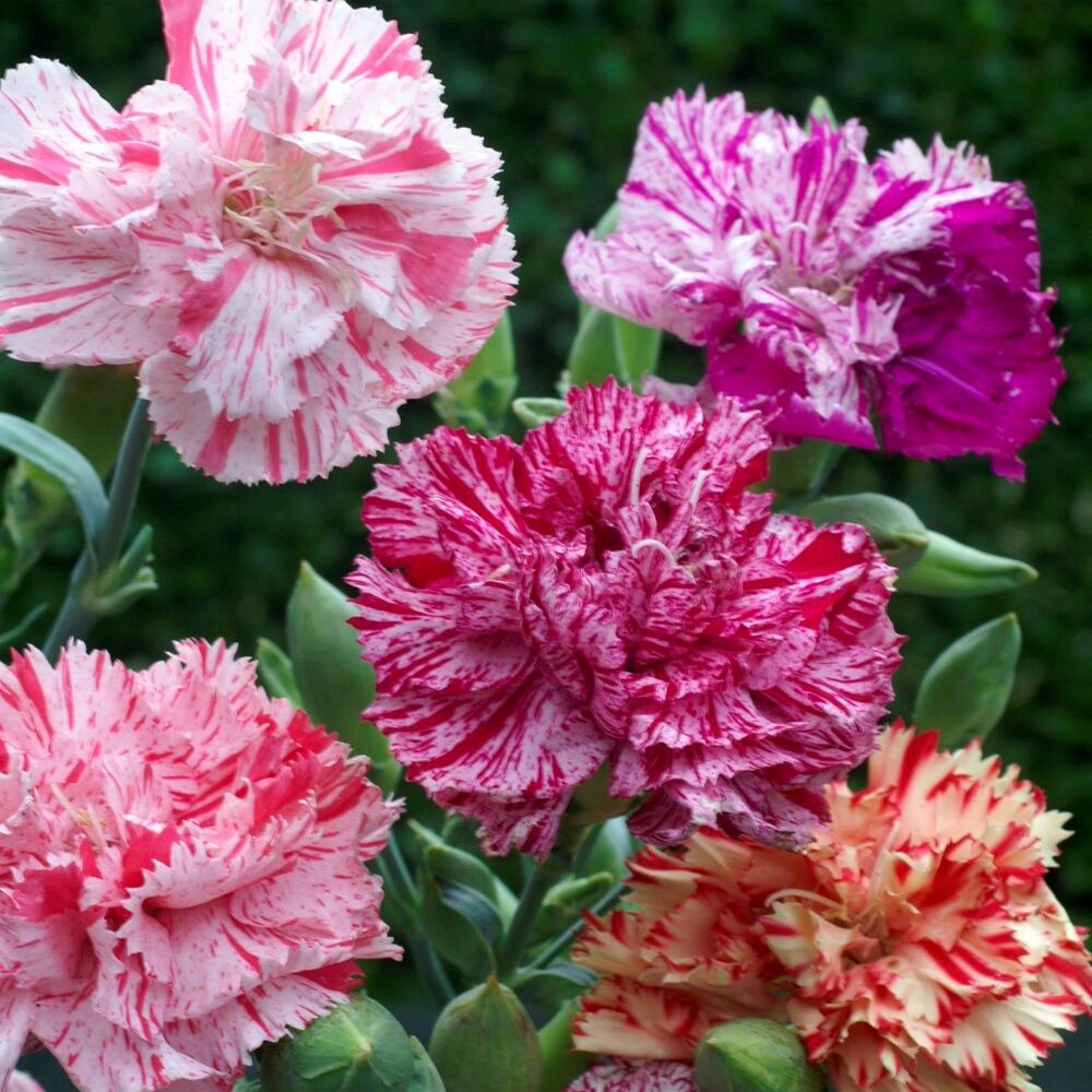 Carnation Seed Dianthus Caryophyllus Chabaud Picotee Flower Seeds Mix