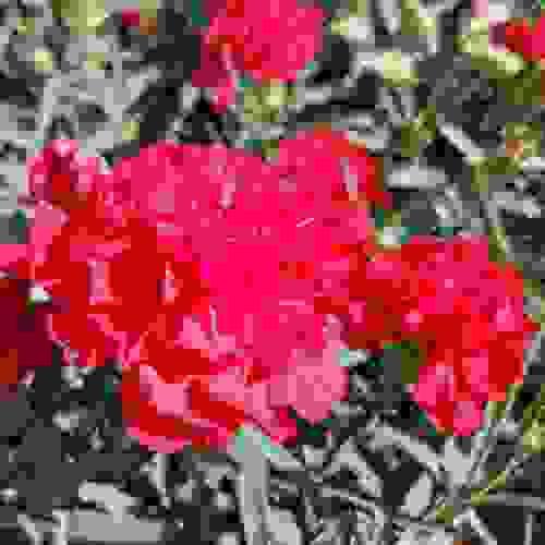 Carnation Seeds Dianthus Carophyllus Grenadin Scarlet Flower Seed