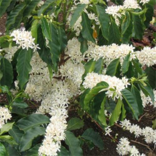 18 HIGH Quality Seeds Coffee Seeds COFFEA Arabica Nana Tropical House Plant