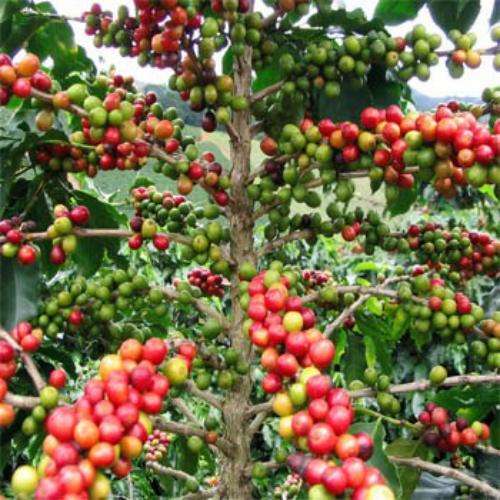 Coffea Arabica Seed Pods