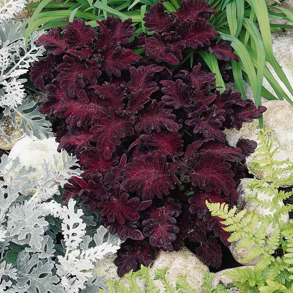 coleus seeds coleus black dragon flower seed dark