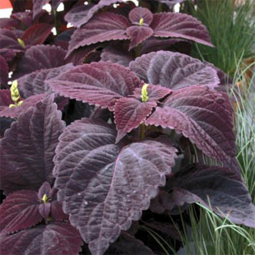 coleus dark chocolate seeds  coleus flower seed  houseplant seeds, Beautiful flower