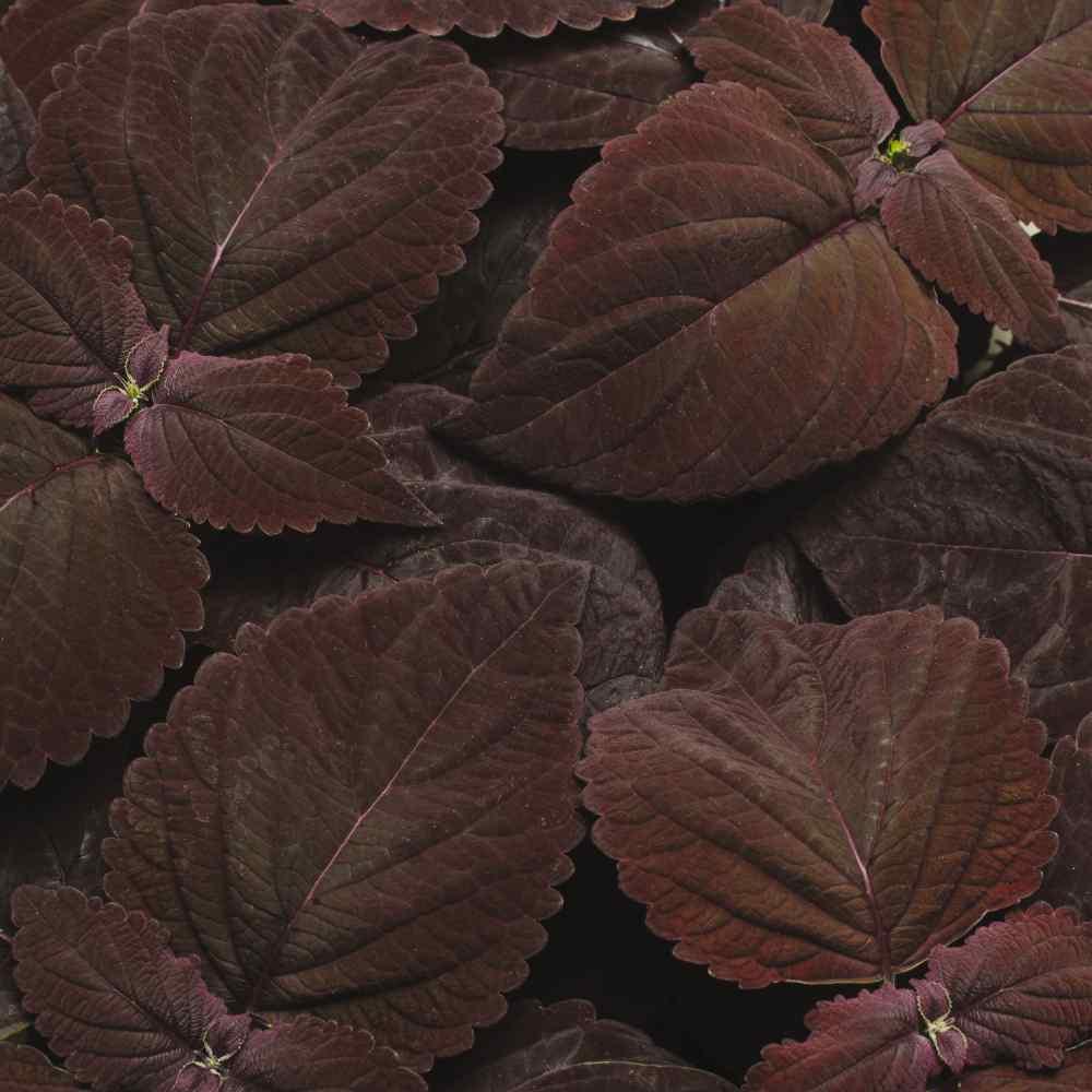 Coleus Dark Chocolate Seeds Coleus Flower Seed Houseplant Seeds
