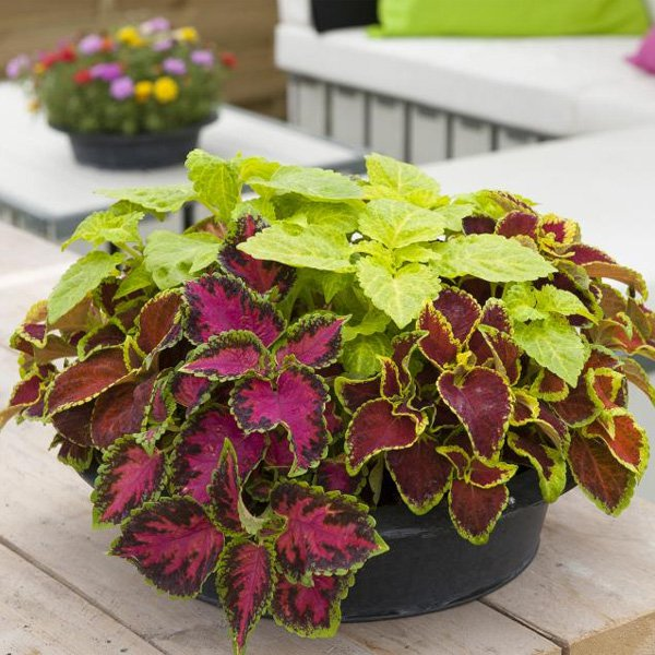 coleus fairway mix seed  flower seeds  coleus house plants, Natural flower