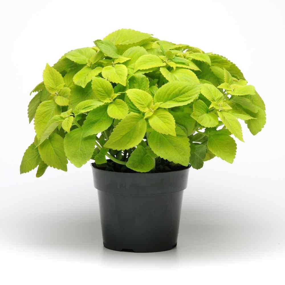 Versa Lime Coleus Seeds Large Foliage Plant