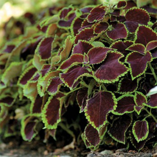 Coleus Chocolate Mint