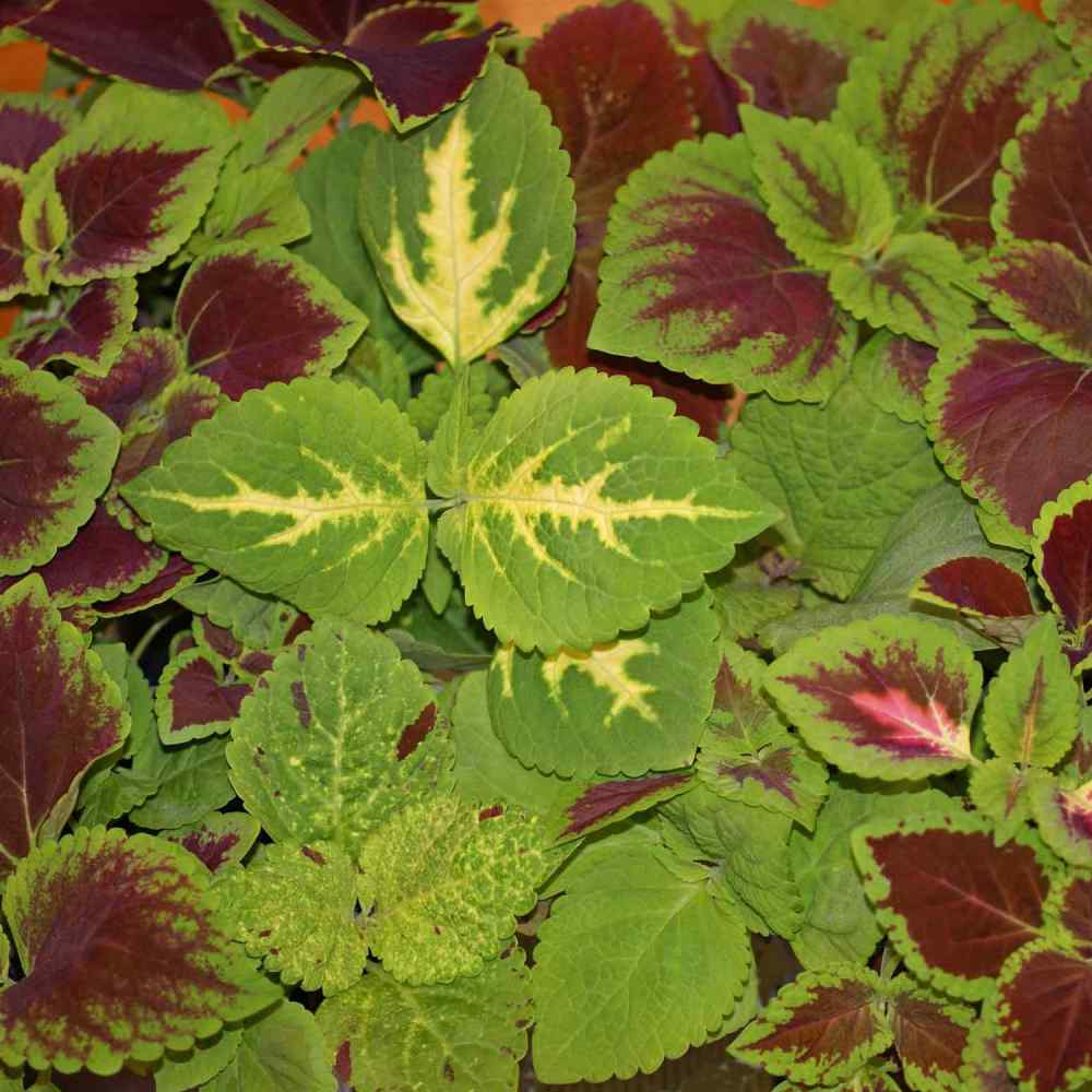 Coleus Seed Rainbow Mix Flower Seeds Shade Garden Plants