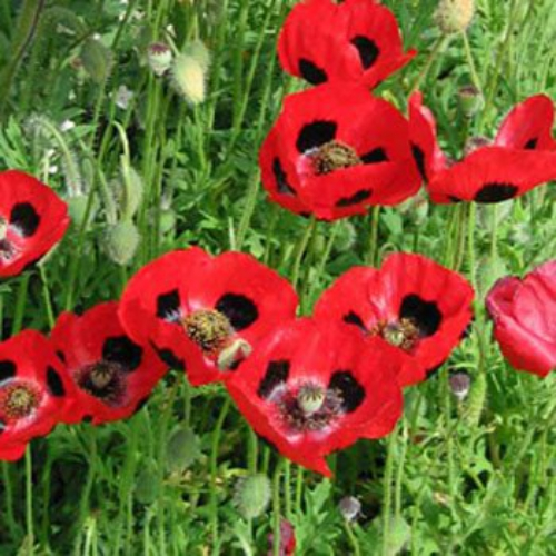 Lady bird poppy seeds red poppies flower seed poppy lady bird papaver commutatum lady bird easy to grow from flower seeds the ladybird poppy features a charming crimson single bloom with a black mightylinksfo