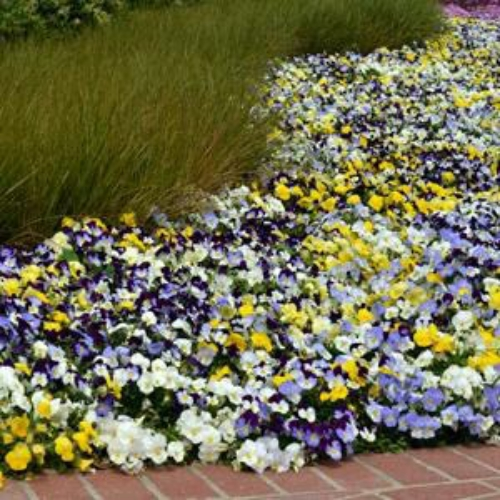 Cool wave pansy flower seeds white trailing pansy plants pansy cool wave white in mix mightylinksfo