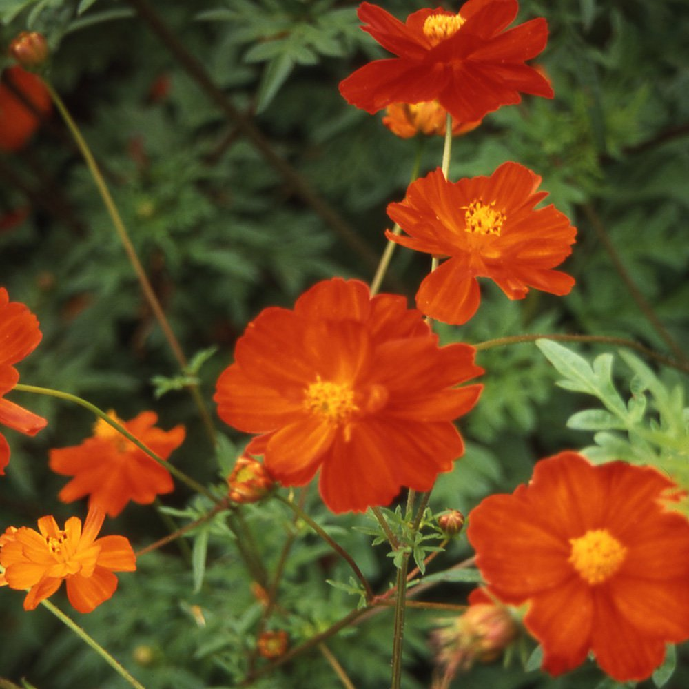 Cosmos Flowers on Sulfur Cosmos Seeds   Cosmos Sulphureus Red Flower Seed