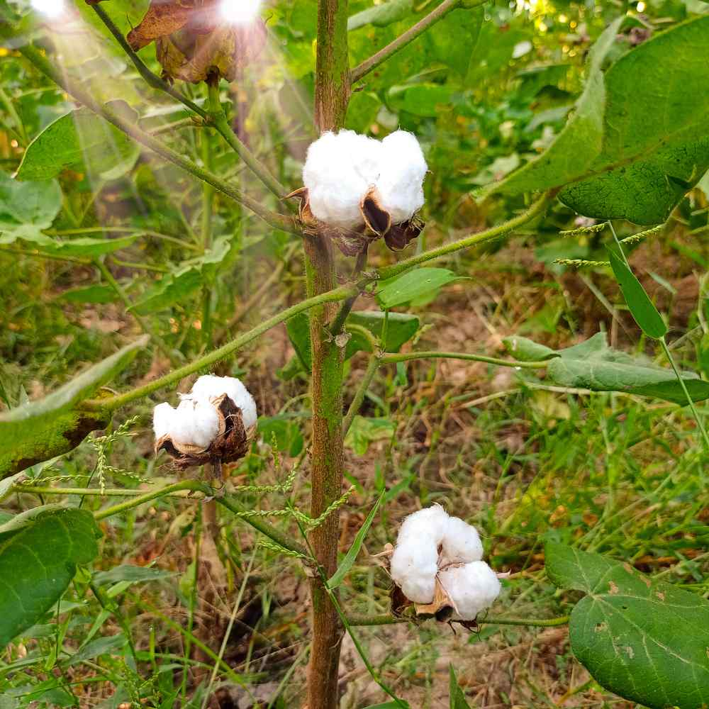 Cotton Levant Seed