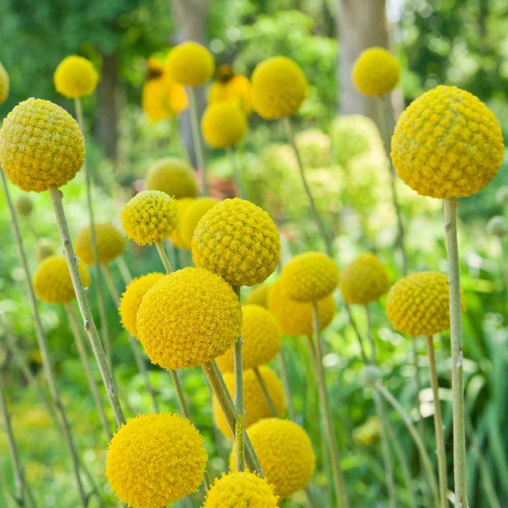 Craspedia Seeds Craspedia Globosa Billy Button Drumstick