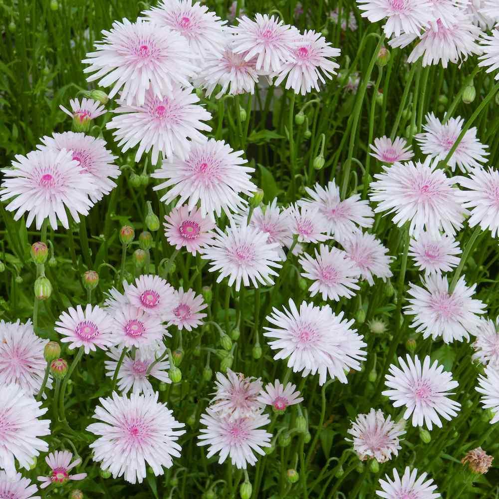 Crepis Rubra Seeds Pink Hawksbeard Flower Seeds