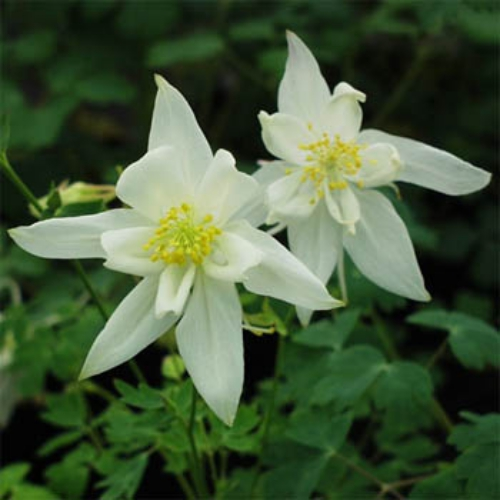 columbine seeds  aquilegia caerulea crystal star flower seeds, Beautiful flower