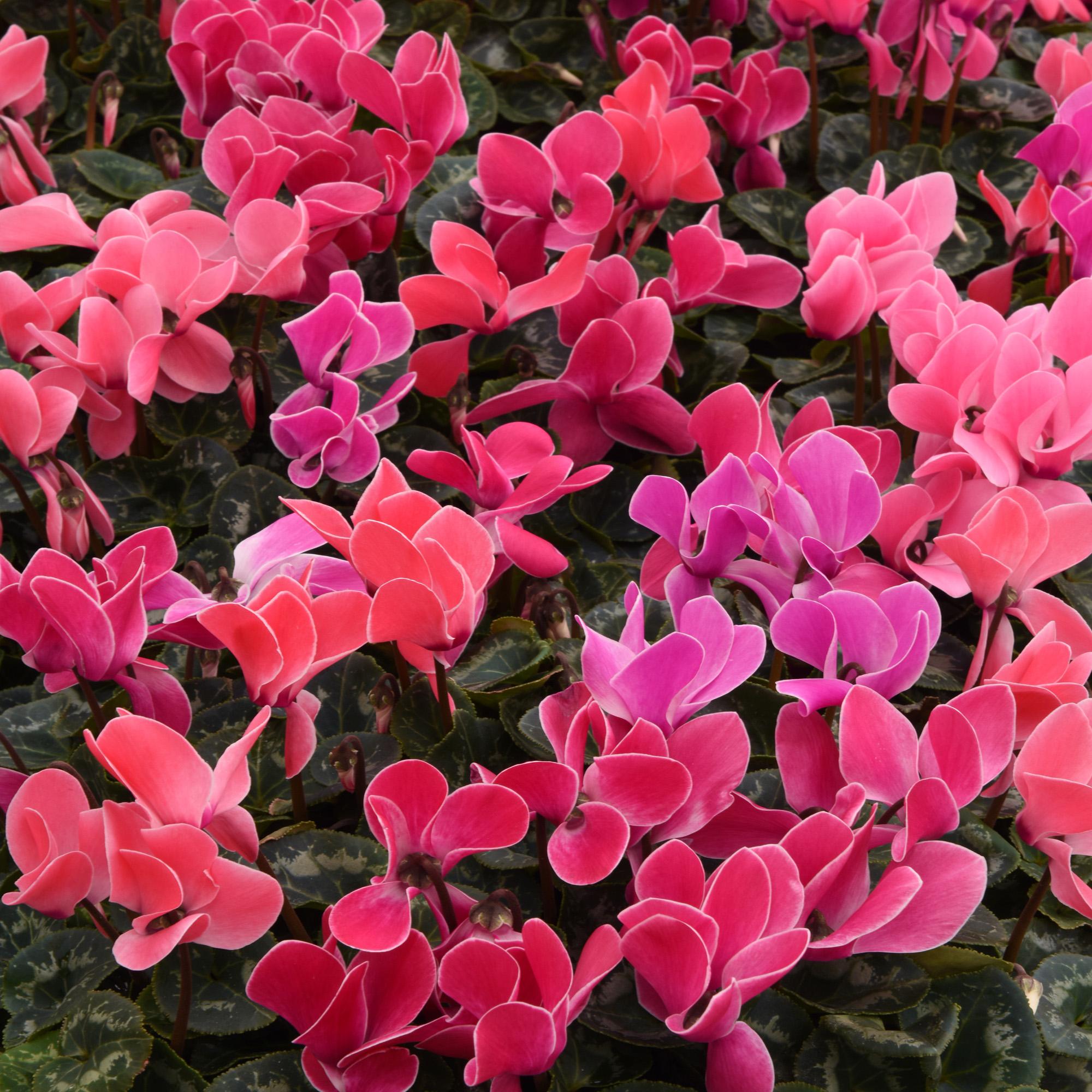 Cyclamen Seeds Cyclamen Persicum Butterfly Mix Flower Seed