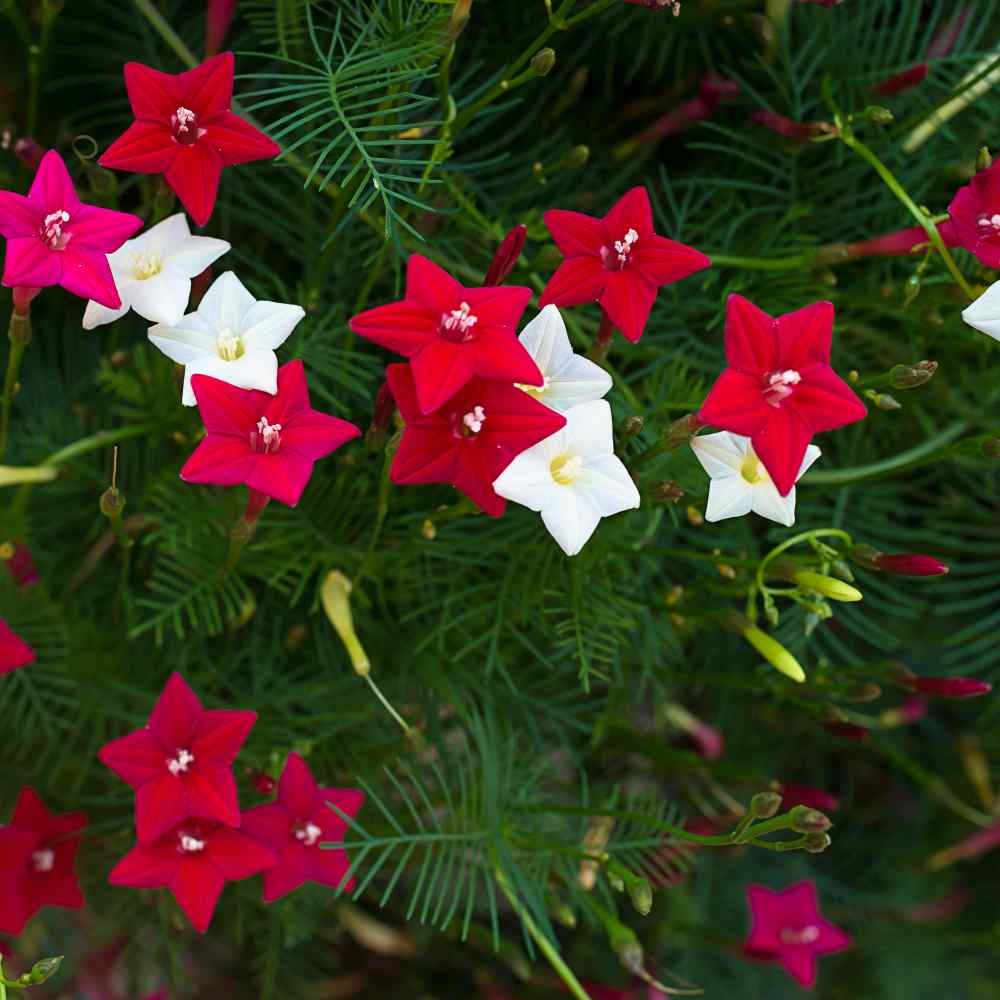 Outsidepride Christmas Rose 100 Seeds
