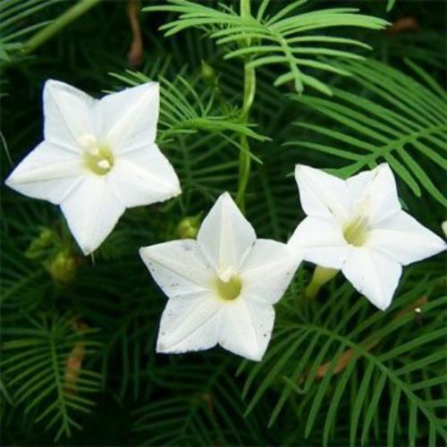 Cypress vine seeds ipomoea pennata white flower seed mightylinksfo