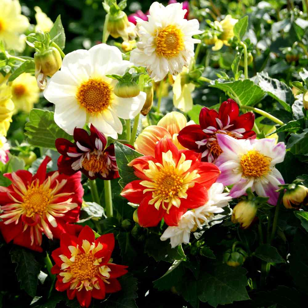 Dahlia Seeds Dahlia Variabilis Dandy Mix Flower Seed