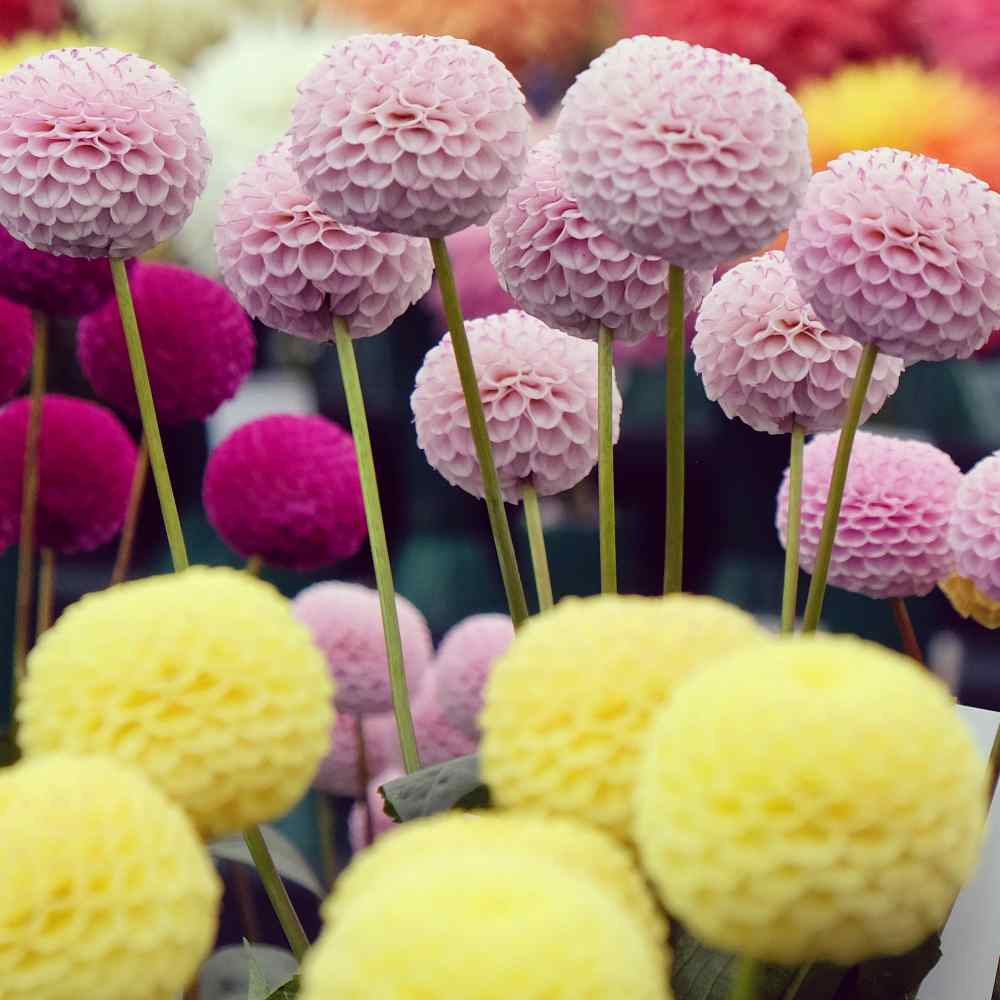dahlia seeds pompon double mixed violet red orange and yellow blooms ebay. Black Bedroom Furniture Sets. Home Design Ideas