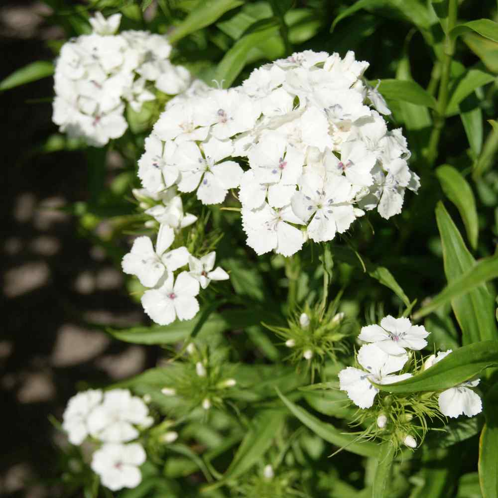 Dianthus seeds dianthus barbatus sweet william white flower seed dianthus dianthus barbatus albus this white sweet william dianthus is a wonder of a plant with tiny 34 inch florets of glistening white that crowd one mightylinksfo