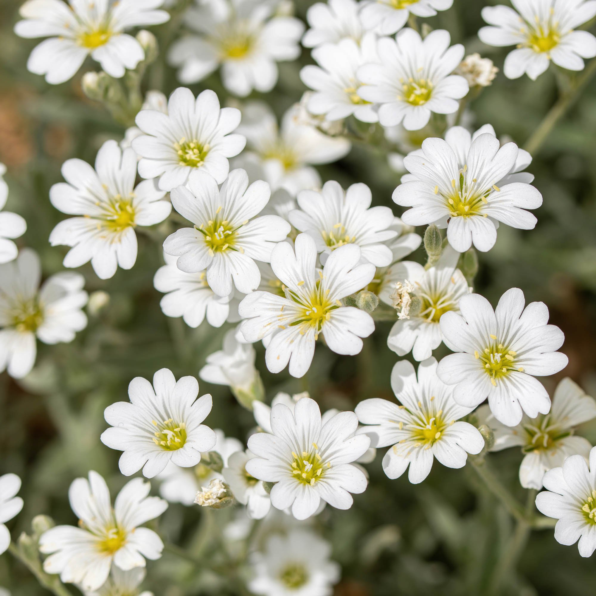 dianthus seed  dianthus arenarius white ground cover seeds, Natural flower