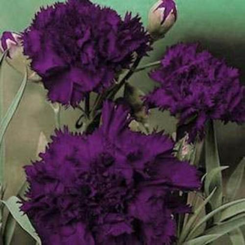 Semis de Dianthus - Page 2 Dianthusking