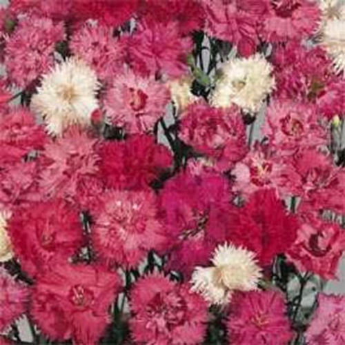 Dianthus Spring Beauty