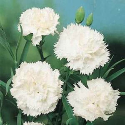 Carnation Flower on Carnation Seeds   Dianthus Caryophyllus Grenadin White Flower Seed