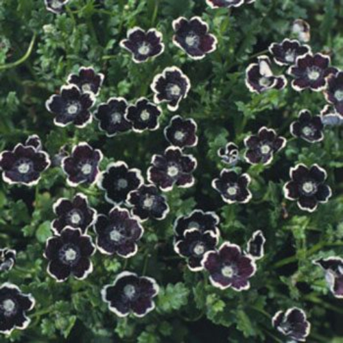 Pennie Black Nemophila