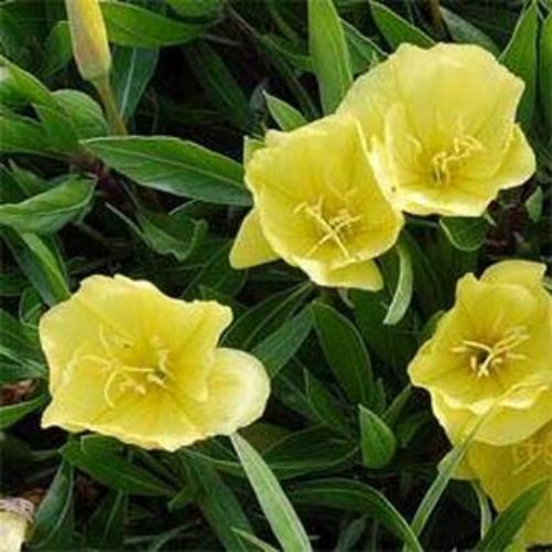 Primrose seed dwarf evening primrose flower seeds dwarf evening primrose mightylinksfo