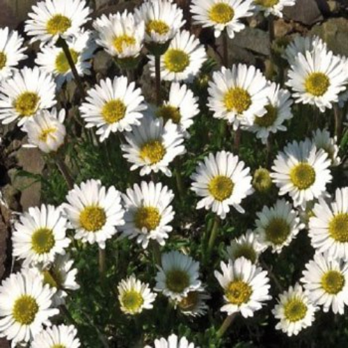 Erigeron seed erigeron compositus rocky flower seeds compositus rocky these low growing flowering plants grow only 6 inches tall and have small daisy like flowers that are white with yellow centers mightylinksfo