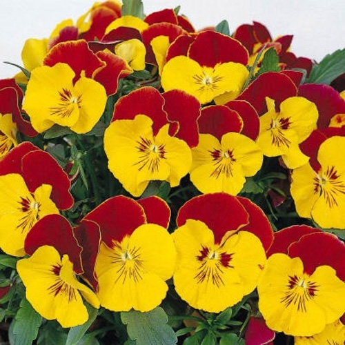 Pansy seeds pansy faces red bicolor flower seeds pansy faces red bicolor mightylinksfo