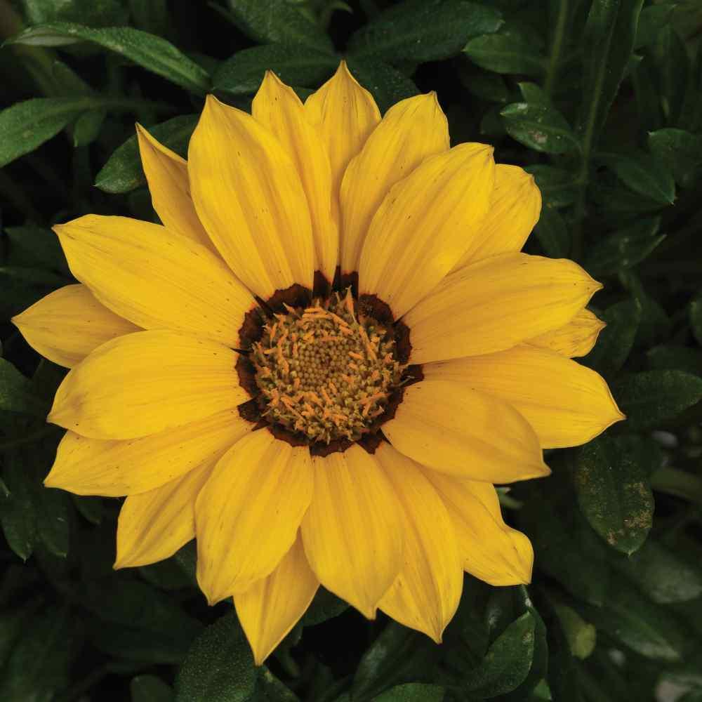 Gazania seed gazania kiss golden yellow ground cover seed gazania kiss golden yellow mightylinksfo