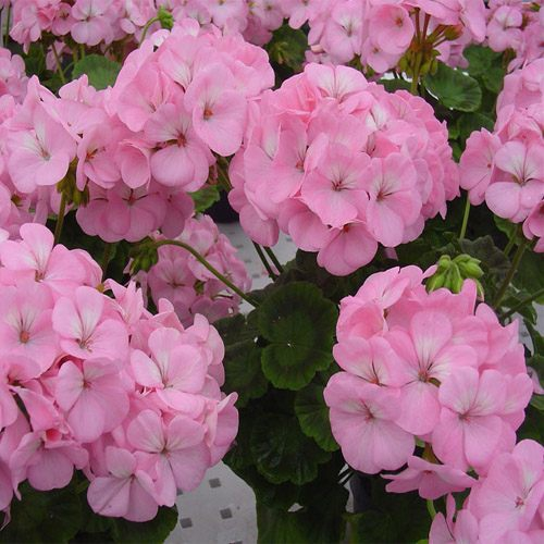 Geranium Appleblossom 10 Seeds Garden Seeds 2u