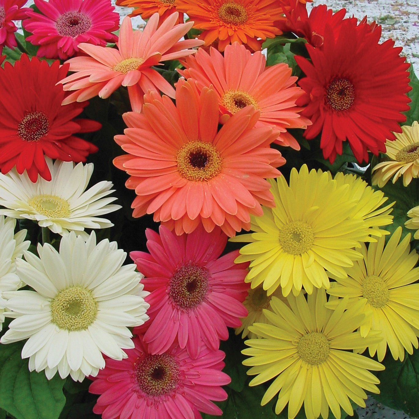 Gerbera Jamesonii Mix
