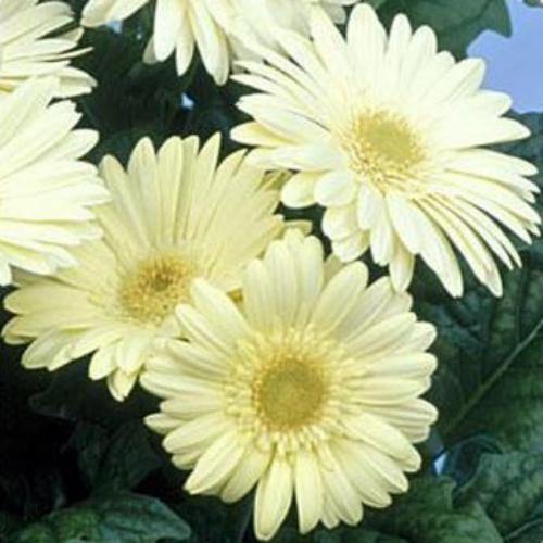 Gerbera seed white gerbera daisy flower seeds gerbera white mightylinksfo Choice Image
