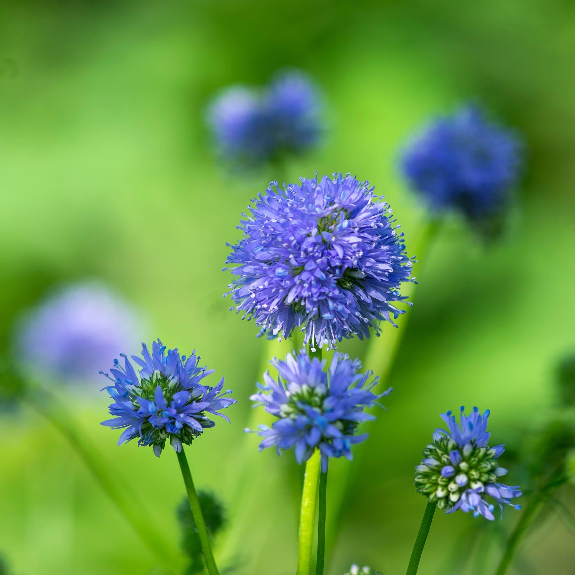 100 Seeds BOGO 50/% off SALE Details about  /Gilia Capitata- Queen Anne/'s Thimbles