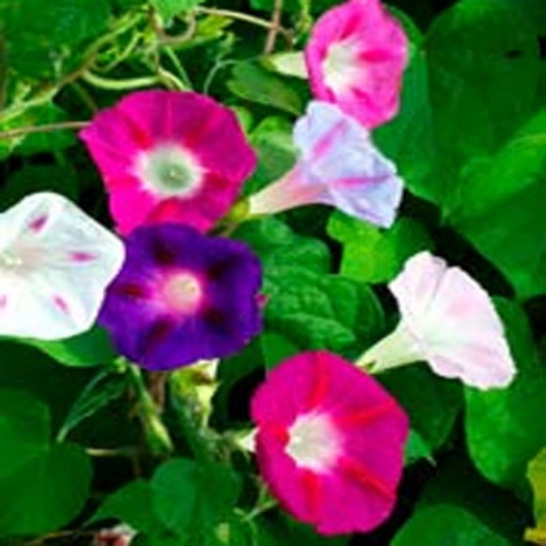how to get seeds off morning glory plant