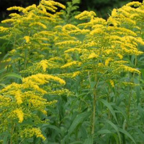 Goldenrod Plant Seed This Goldenrod wildflower is