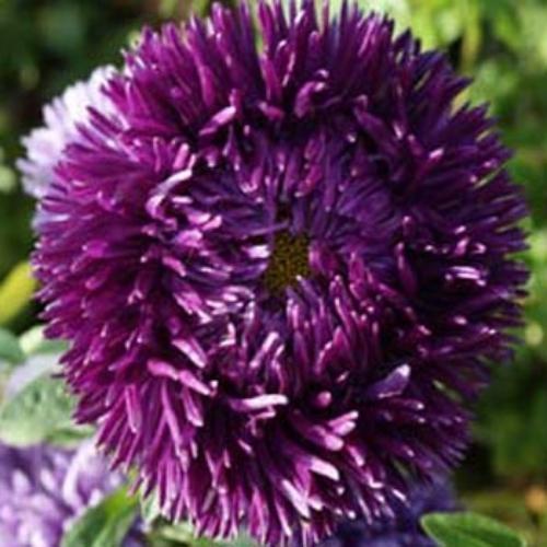 Aster Gremlin Dark Violet