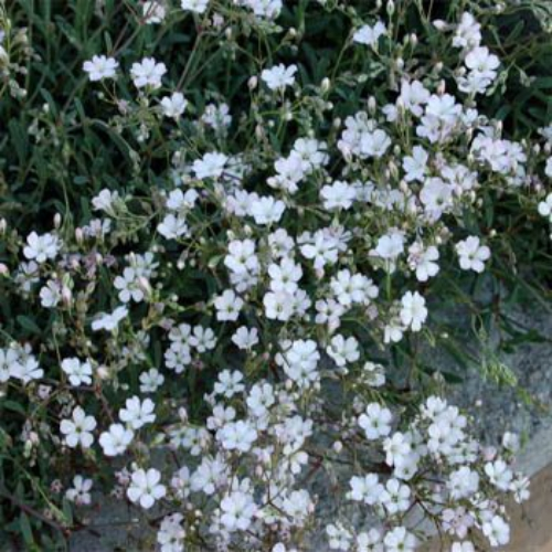 Gypsophila seeds white creeping babys breath flower seed gypsophila repens white mightylinksfo