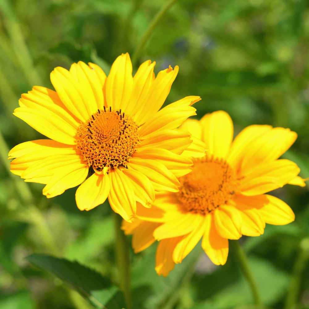 Heliopsis Scabra Yellow